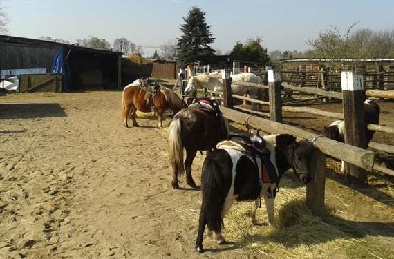 Die Ponys sind für den Reitunterricht bereit.